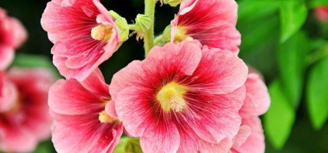 Цветы мальвы