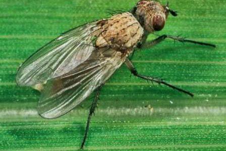 муха луковая