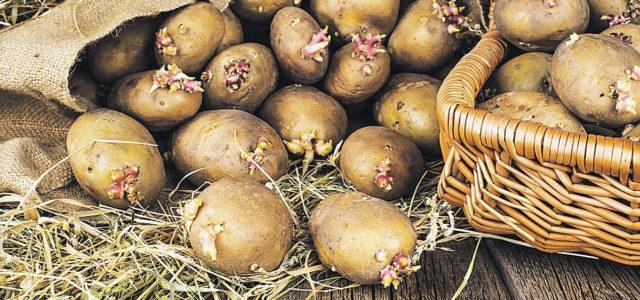 проросший картофель