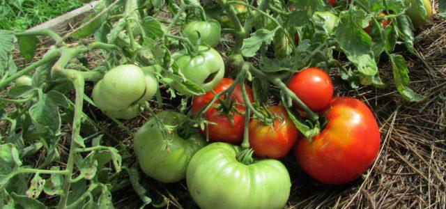 томатный куст