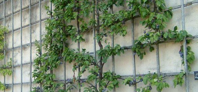 Дерево на шпалере