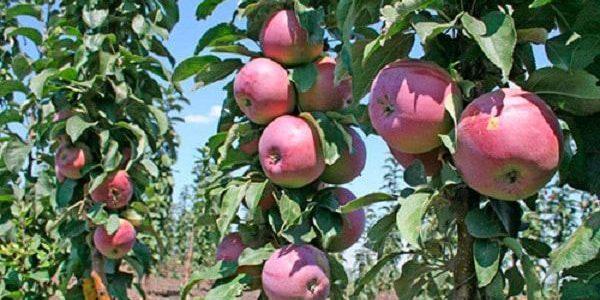 яблоньки